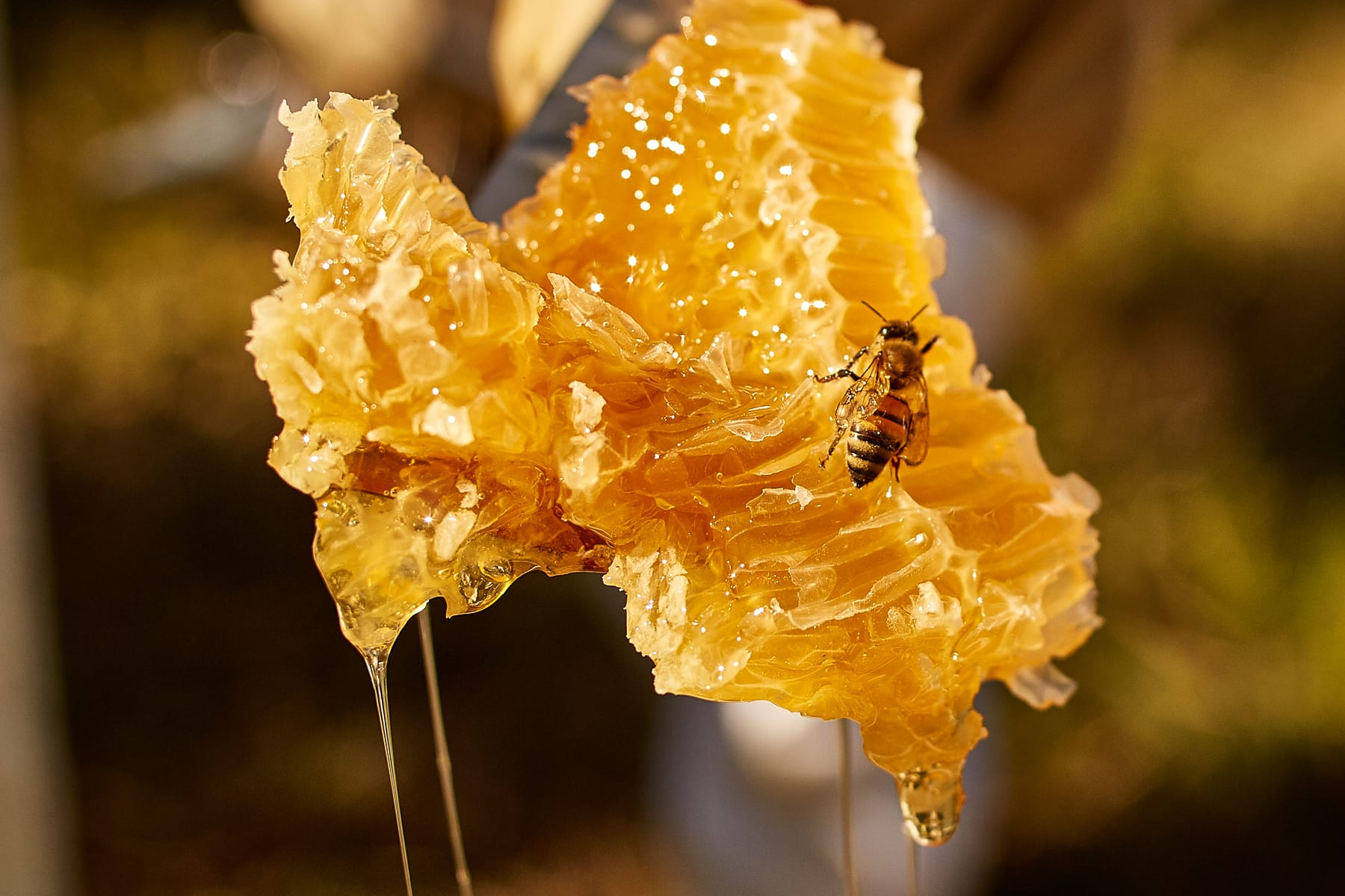 Bee on extracted honeycomb