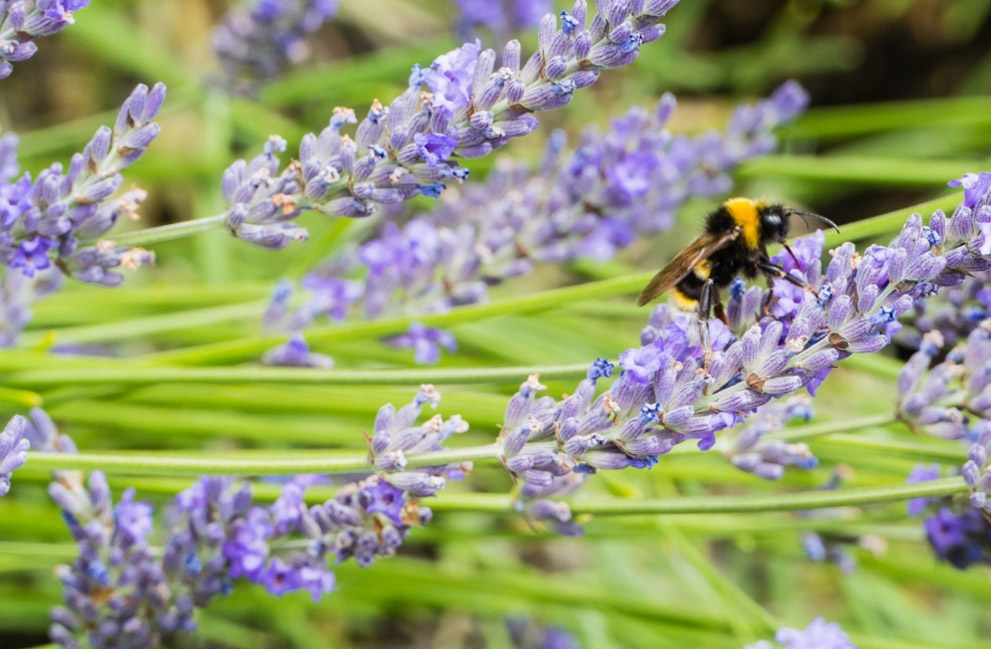 Bumble Bee on Lavender Close up