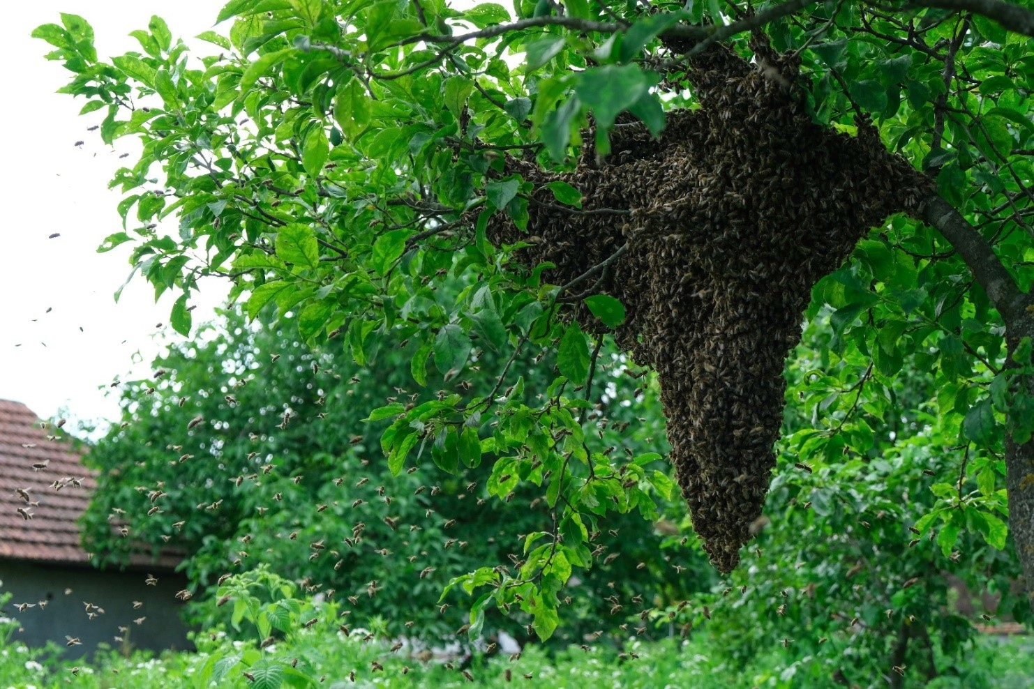 A swarm of bees in a tree
