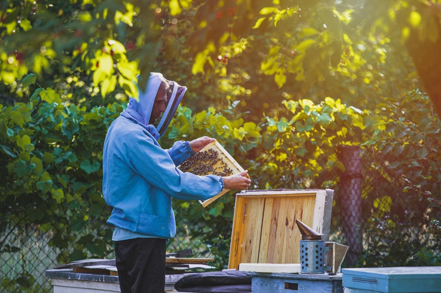 A hobbyist beekeeper examines a hive frame